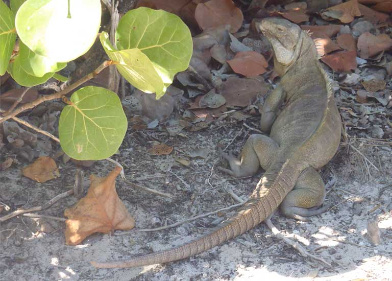 Large male Turks & Caicos Rock Iguanas such as this one are still found on some islands with invasive mammal populations — this male on Pine Cay belongs to a functionally extinct population, with hatchlings entirely predated by feral cats. Photo by B Naqqi Manco