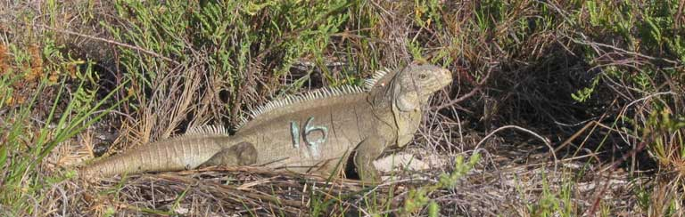 During the process of relocation for establishment of restoration populations, rock iguanas are given a non-toxic paint tag on their side that disappears after skin sloughing. This number allows researchers to observe and identify individual iguanas in the monitoring period immediately after reintroduction. Photo by Lee Pagni