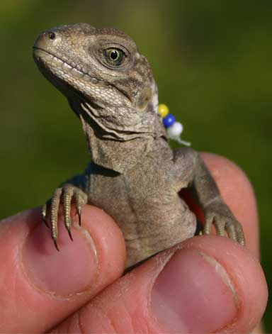 A glass bead tag like this one sported by a yearling — color-coded to a numbering system —allows researchers to quickly identify an individual iguana without having to recapture them, and avoiding the risk of injury. Each iguana is also injected with a PIT tag that can be scanned. Photo by Lee Pagni