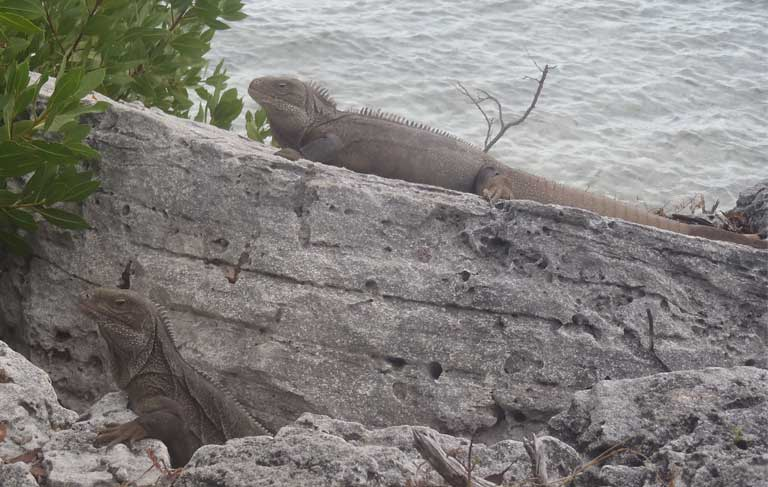1.Female Turks & Caicos Rock Iguanas, such as the lower animal here, have a more dainty, streamlined head and narrower jowls than stocky males. Photo by B Naqqi Manco