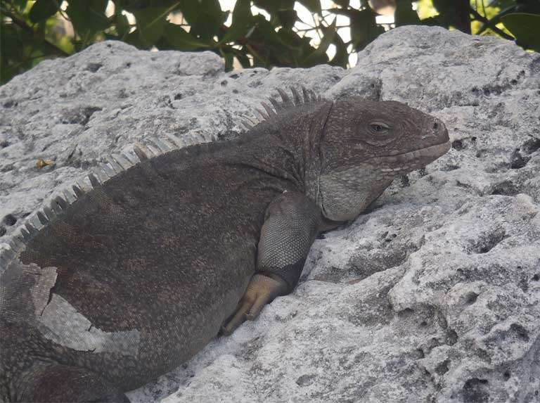 A mature male Turks & Caicos Rock Iguana greets arriving guests at the Pine Cay dock, where he lounges on a seaside rock in late afternoon. Photo by B Naqqi Manco