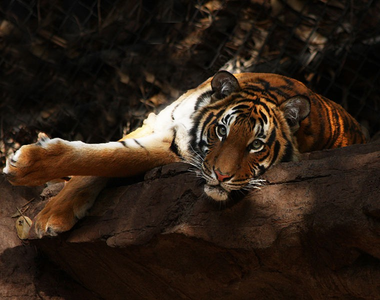 The critically endangered Malayan tiger is threatened by poaching. Photo by Rennett Stowe Wikimedia Commons. CC BY 2.0.