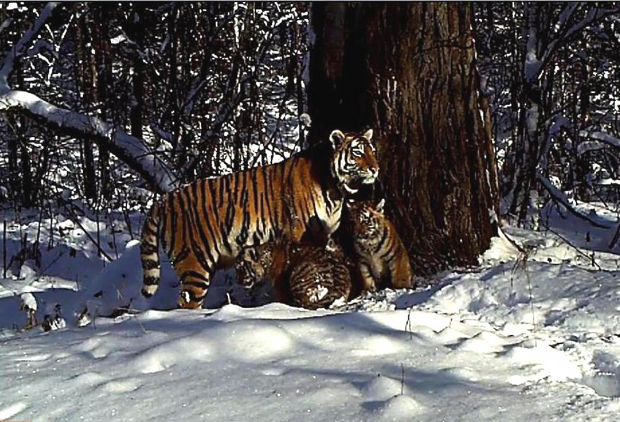 """""""Zolushka"""" standing under a huge Korean pine tree in Russia's Bastak Reserve with two small cubs huddled underneath her. This is the first time tigers have repopulated this region in 40 years. Photo courtesy of Bastak Reserve."""