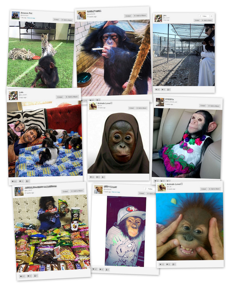 Instagram is littered with images of apes in unnatural and sometimes abusive poses. It is unlikely that any of the apes were acquired legally. Account names that appear to be the owner's real name have been blurred. Photos are screenshots from Instagram.