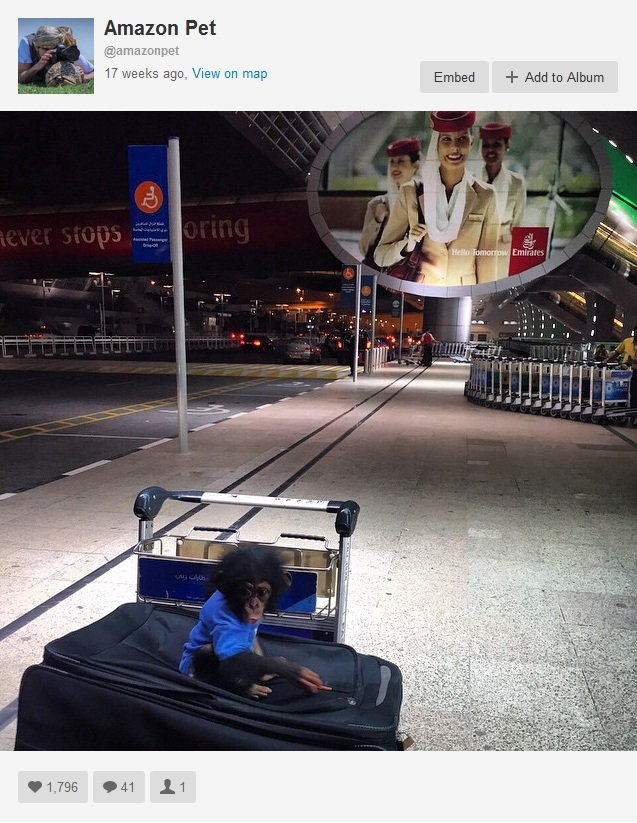 A baby chimpanzee in transit, apparently in a Middle Eastern airport, as posted by a Dubai-based pet shop. Instagram's endangered animal dealers seem to have no fear of being disciplined by the site's owner, Facebook. Photo is a screenshot from Instagram.