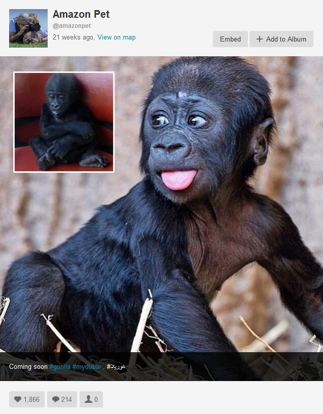 The audacious post by a Dubai pet seller that launched our probe into Instagram. Note the high number of likes. The inset shows a baby gorilla actually in the possession of a Middle Eastern Instagram member. It appears to be in bad health and its fate is unknown. Photos are screenshots from Instagram.