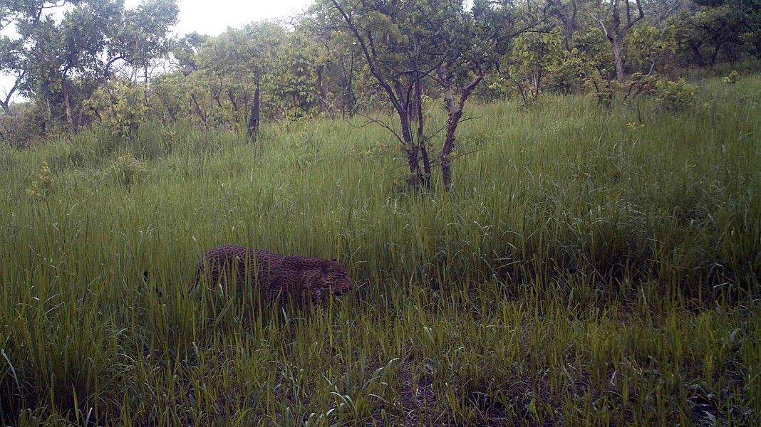 Leopard stalking in the grass. Photo credit credit: FFI and Bucknell University.