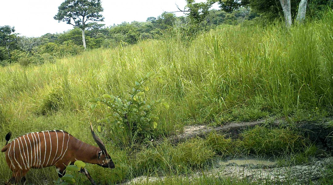 Western Bongo. Photo credit credit: FFI and Bucknell University.