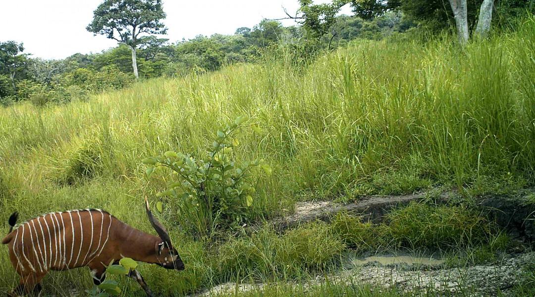 Western Bongo. Photo credit credit: FFI and Bucknell University.