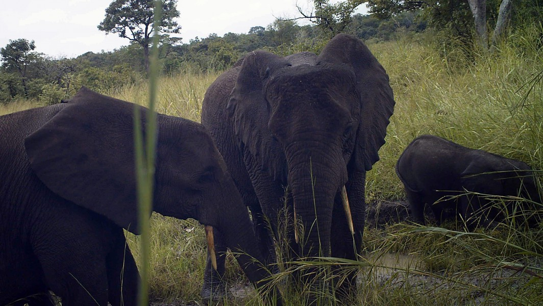 Researchers say that these are the first record of Forest elephants in South Sudan. Photo credit: FFI and Bucknell-University.