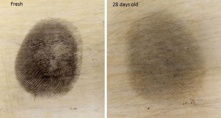 Comparison of a fresh fingerprint on ivory enhanced with reduced-scale powder versus a 28-day old fingerprint on ivory. Photos courtesy of the Metropolitan Police Service of London.