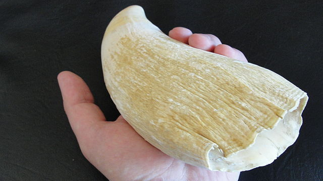 Sperm whale tooth. Photo courtesy of Wikimedia Commons/Lord Mountbatten
