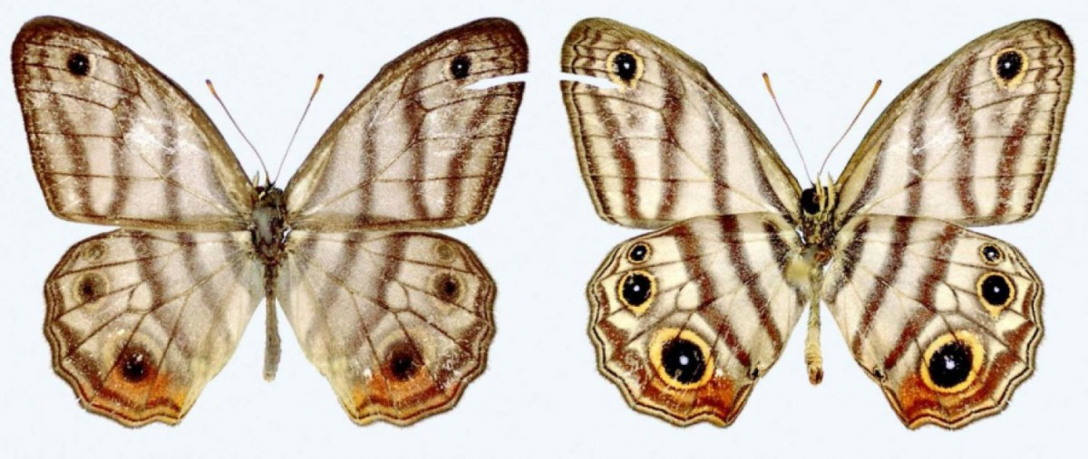 Upper (left) and under (right) side of the male holotype of Attenborough's Blackeyed-Satyr (Euptychia attenboroughi). Photo credit: Andrew Neild, Trustees of the Natural History Museum, London; CC-BY 4.0