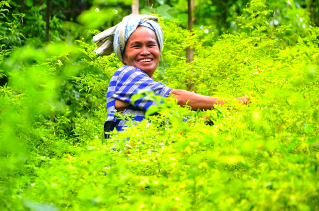 Nasirah, a resident of Massewae in the South Sulawesi backcountry, tends to her crops in the village. Photo by Wahyu Chandra