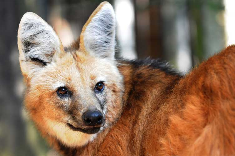 The Maned wolf's fox-like face. Photo by Edu Fortes