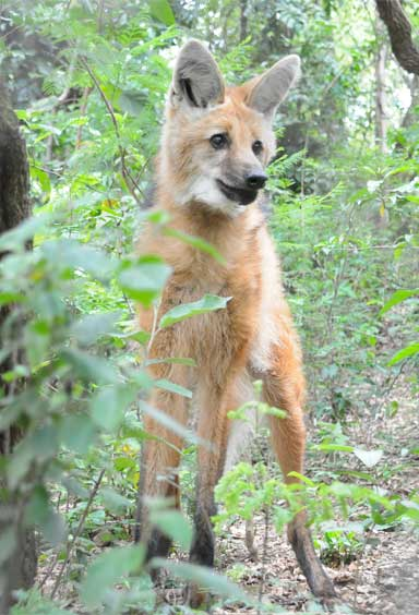 The Maned wolf moves on long legs easily from grassland, to scrubland, to forest. Photo by Edu Fortes