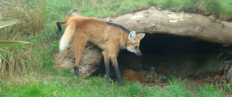 A Maned wolf marks its territory with urine that is said to smell remarkably similar to marijuana. Photo by Abujoy licensed under the Creative Commons Attribution-Share Alike 2.5 Generic license