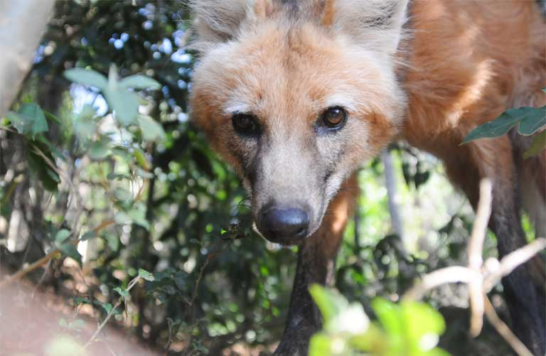 An inquisitive Maned wolf spots and investigates a game camera. Photo by Edu Fortes