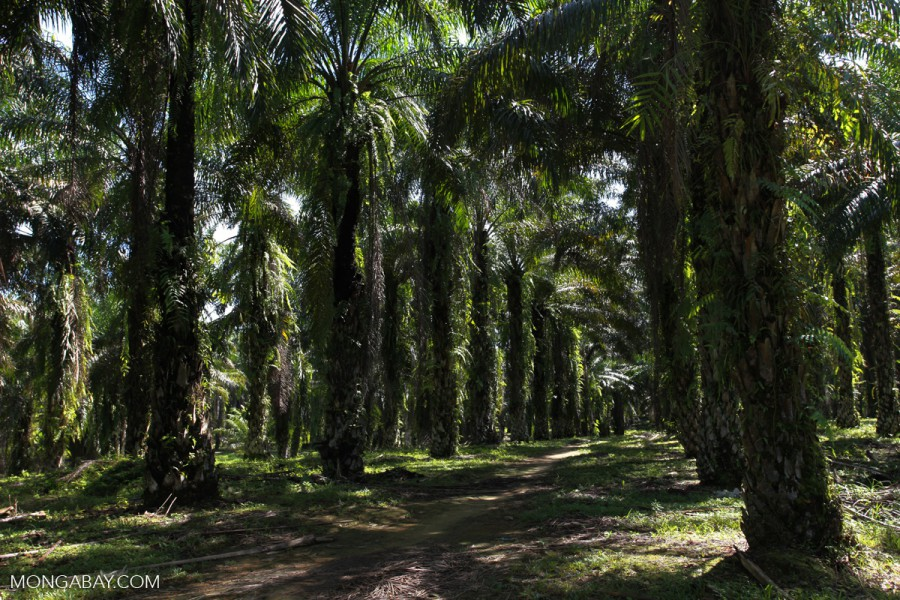 Fully grown trees on an oil palm plantation in Indonesia. Photo by Rhett A. Butler