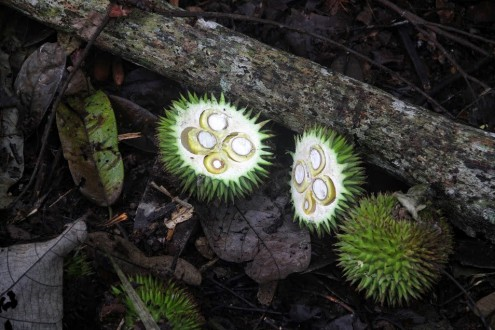 Durian-like fruit lie on the forest floor. Photo Philip Jacobson