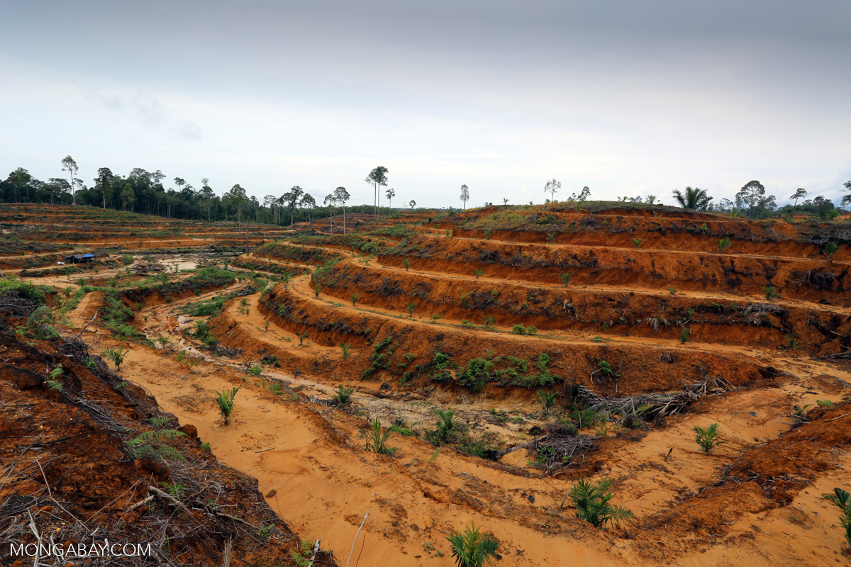 Land cleared for oil palm and planted with saplings in Indonesia. Photo by Rhett A. Butler/Mongabay