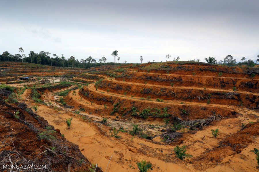 Newly planted oil palm in Indonesia. Photo by Rhett A. Butler