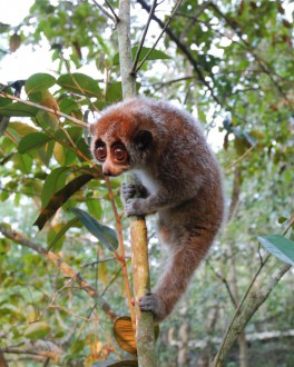 The pygmy slow loris are the first known hibernatig primates outside Madagaskar. Photo by Tilo Nadler