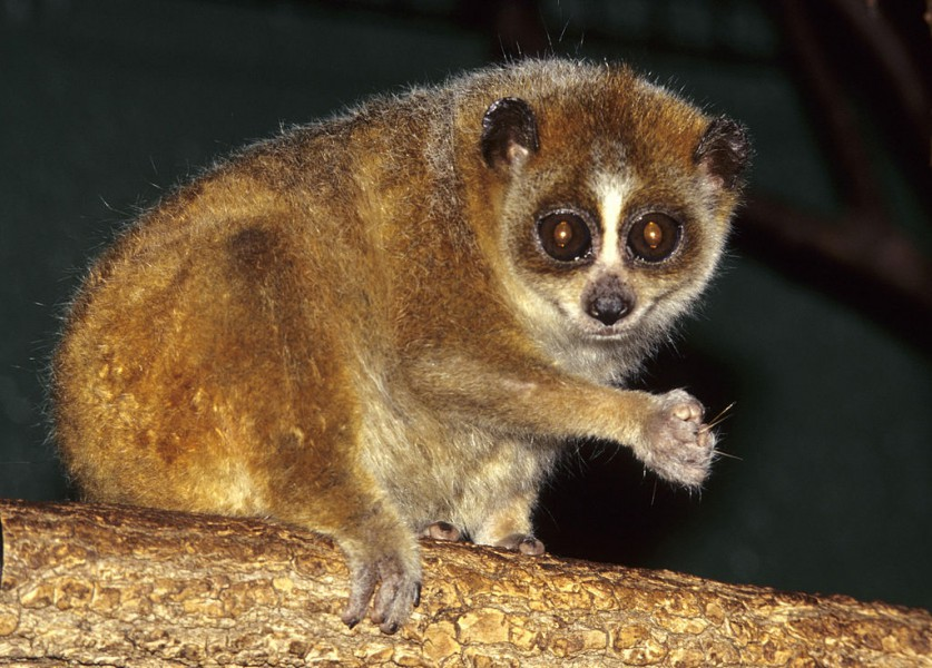 Researchers have found that the pygmy slow loris can hibernate for up to 63 hours. Photo by David Haring / Duke Lemur Center|Wikimedia Commons CC BY-SA 3.0