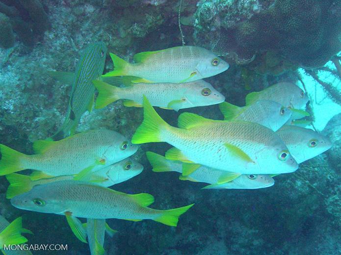 School of fish in Belize (Central America). Photo by Rhett Butler.