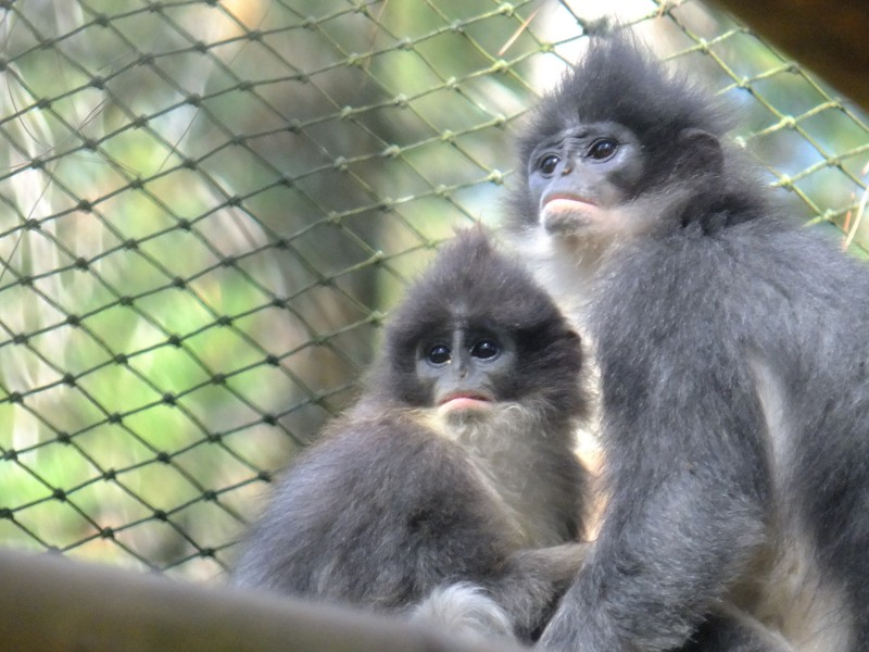 From Howletts Wild Animal Park to new home in Java