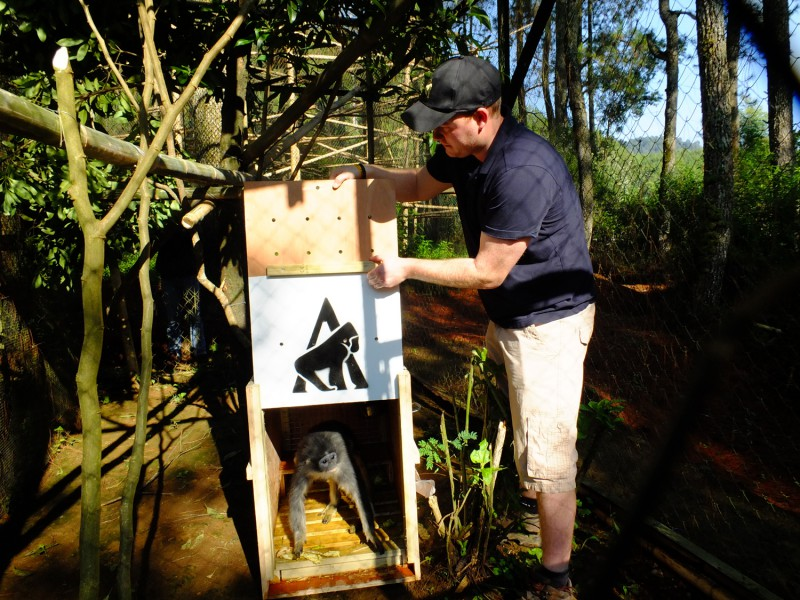 Grizzled leaf monkey release into enclosure at Javan Primate Project
