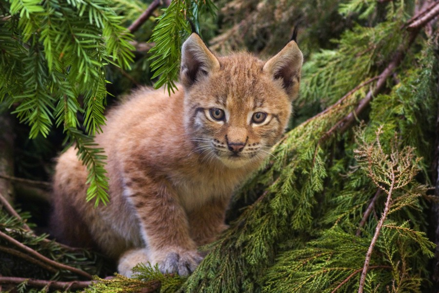 Romania's forests are strongholds for many species, like the Eurasian lynx (Lynx lynx). Photo by  Bernard Landgraf CC-BY-SA-3.0 via Wikimedia Commons.