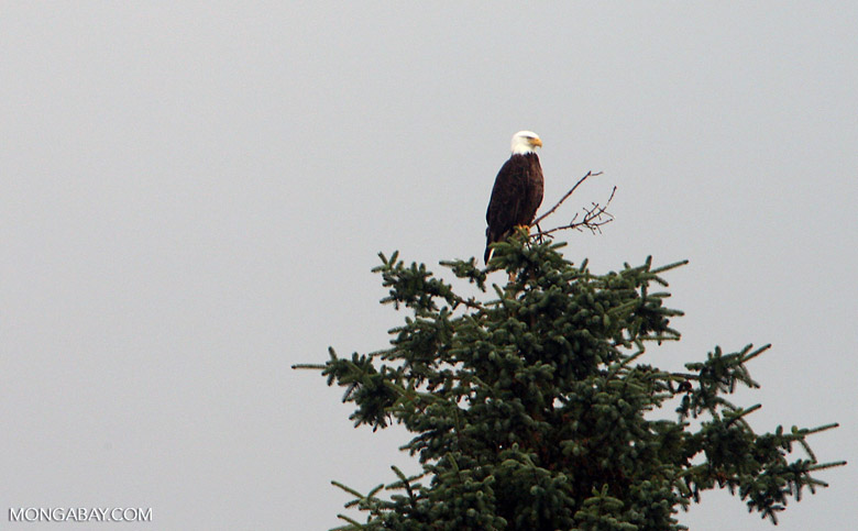 Bald eagle atop a tree in Glacier Bay National Park in Alaska's Inside Passage, Alaska United States. Photo by Rhett Butler.