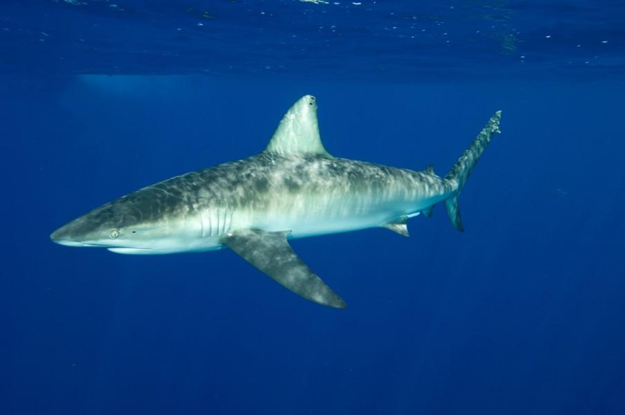 Shark_Brazil