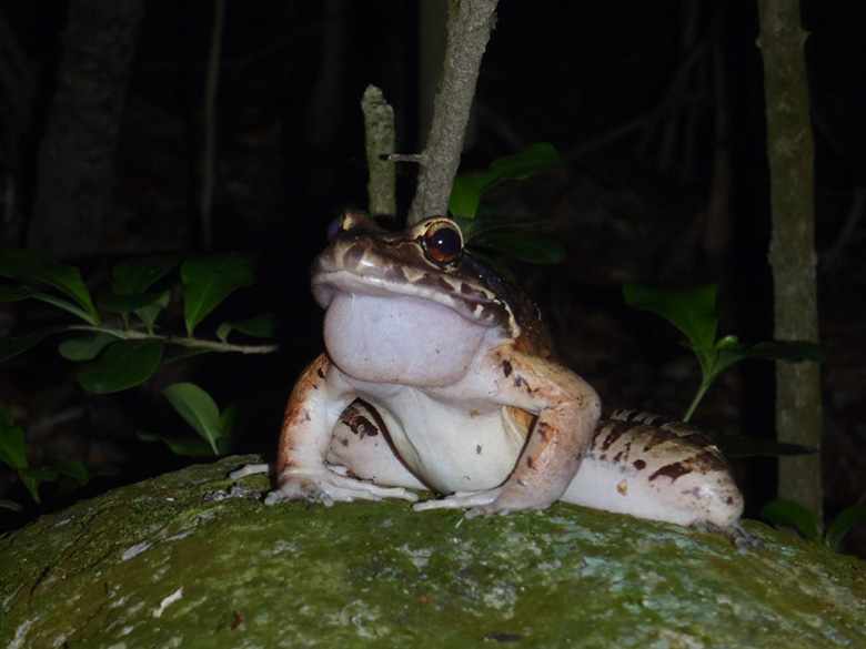 The critically endangered giant ditch frog (Leptodactylus fallax), is the focus of Durrell's flagship amphibian conservation project. Known locally as the mountain chicken, it is native to the Caribbean islands of Dominica and Montserrat. This is a male mountain chicken calling on a rock. Photo by S.L. Adams.