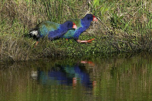 A pair of critically endangered Takahē released on Maungatautari Mountain. Image in the public domain provided by the Maungatautari Ecological Island Trust
