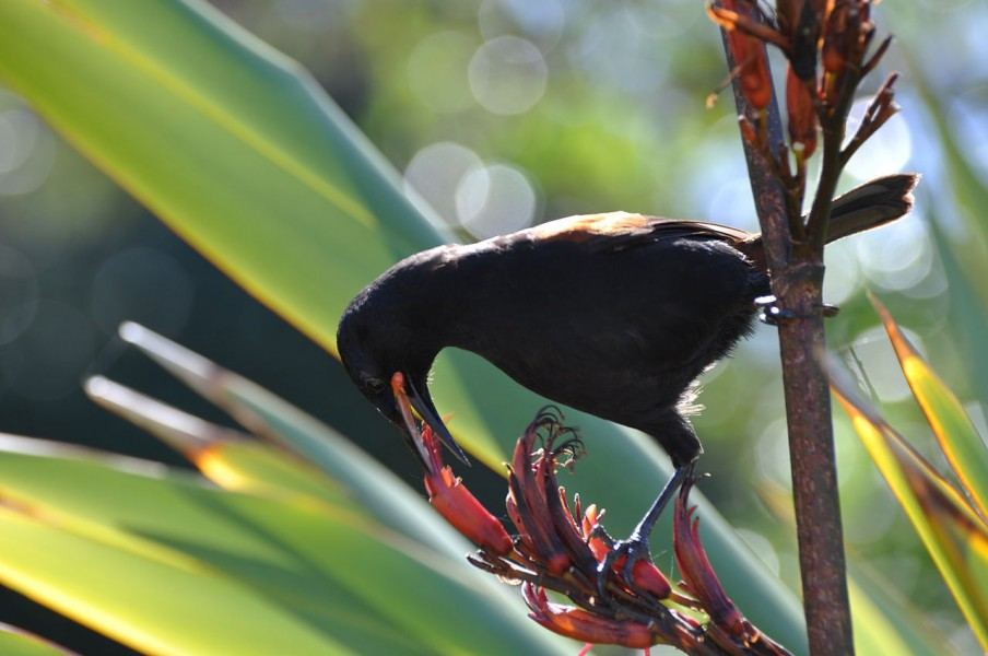 Tieke (Philesturnus rufusater) on a flax flower. Photo courtesy of Adam Mark Lenny under a CC BY-SA 3.0 License.