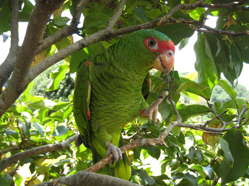 Less than 4% of the red-spectacled amazon's habitats are formally protected. Photo by Marie, from Wikimedia Commons CC BY-SA 2.0