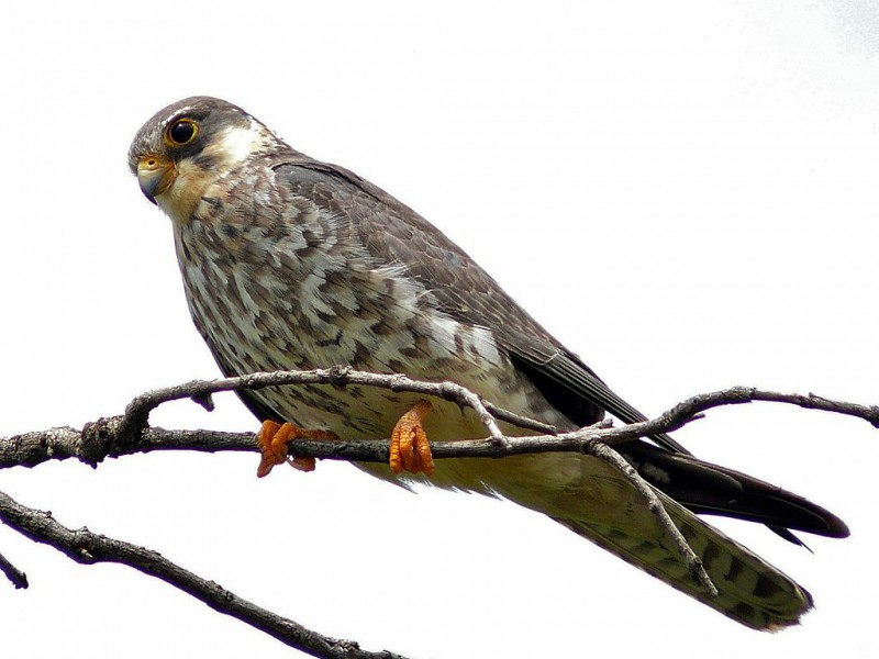 Every year, the Amur Falcon migrates over India in large flocks. Photo by Bernard DUPONT, from Wikimedia Commons CC BY-SA 2.0