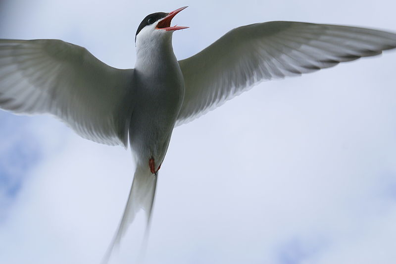 Arctic terns have the longest migration known in the animal kingdom, flying from the Arctic to the Antarctic each year. Photo by Oddurben from Wikimedia Commons CC BY-SA 3.0.