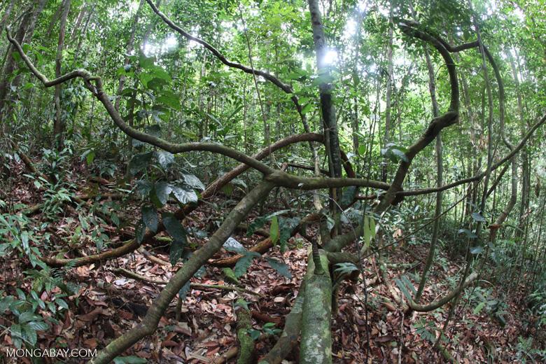 Rainforest vines in Indonesia. Photo by Rhett Butler.