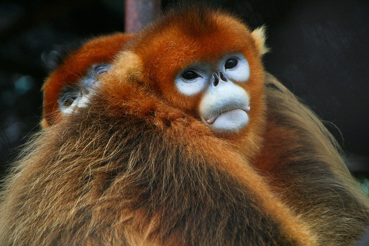 Golden snub-nosed monkeys in captivity near Xi'an, China. The species is listed as Endangered by the IUCN. Photo by Jack Hynes/Wikimedia Commons.