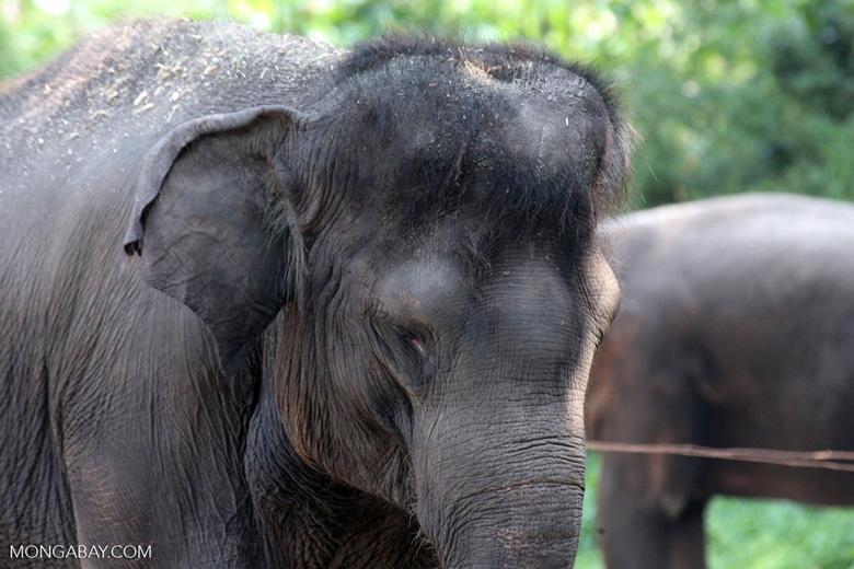 Asian elephant, photo by Rhett Butler.