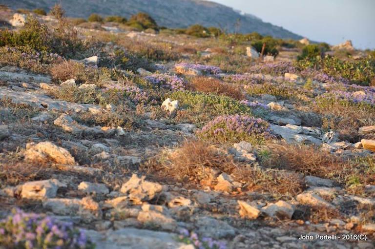 A Maltese garrigue in flower. Photo by John Portelli.