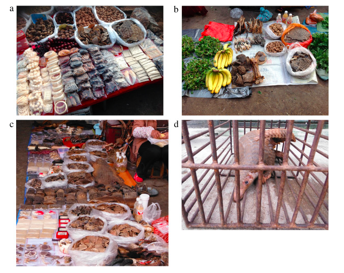 Pangolin trade in Mong La showing clockwise from top left (a, b) bags of pangolin scales in the central wet market (c) bags of pangolin scale and whole pangolin skin in the central wet market, (d) live pangolin in a cage awaiting slaughter in front of the wild meat restaurants. Image from Nijman et al (2015).