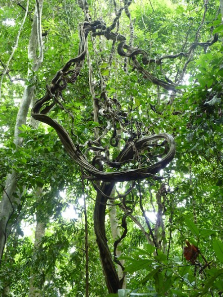 Lianas are woody vines that use other plants for structural support. Photo by Geertje M.F. van der Heijden.