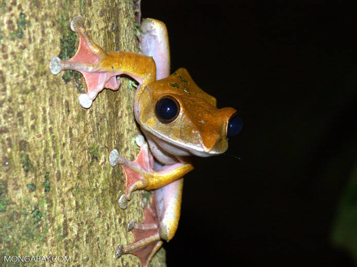 Members of Madagascar's Boophis frog genus are small, arborial and colorful. They are at risk from the Bd fungus, should it be widely introduced. Photo by Rhett A. Butler