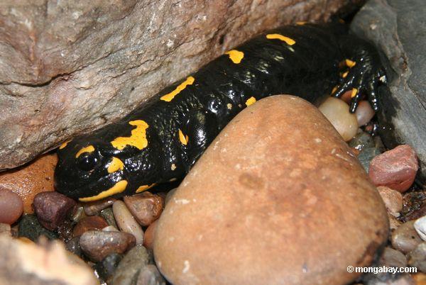 The European fire salamander. Photo by Rhett A. Butler