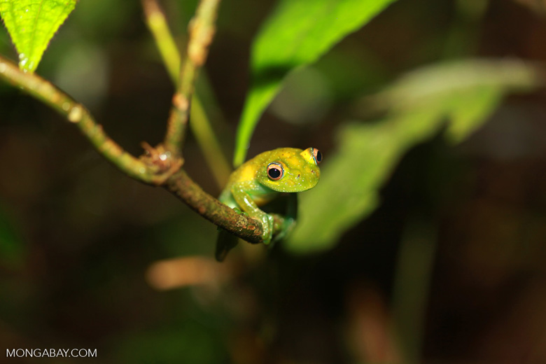 The Green Bright-eyed Frog (Boophis viridis), endemic to Madagascar rhett butler