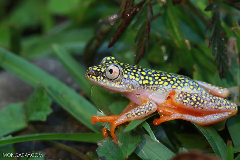 A White Spotted Reed Frog (Heterixalus alboguttatus), one of Madagascar's 500 known frog species. It is currently listed as a species of Least Concern by the IUCN. But if the Bd fungus became widesperead in Madagascar, it along with many other frog species, could quickly become threatened. Photo by Rhett A. Butler